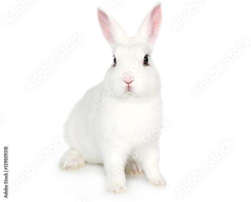 Fototapeta premium Biały królik na białym tle