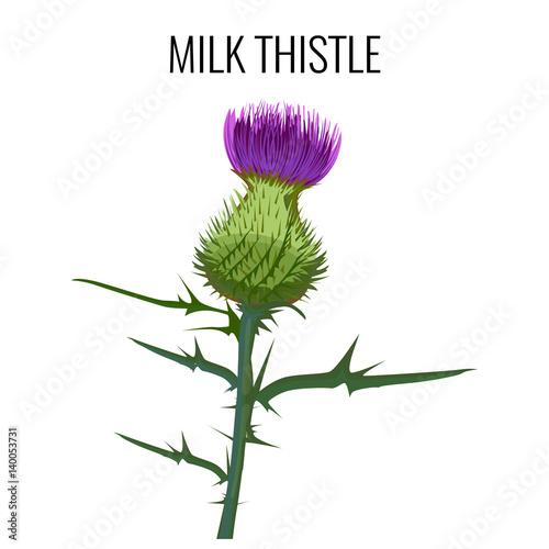 Fotografia Milk thistle isolated on white background. Blessed milkthistle,