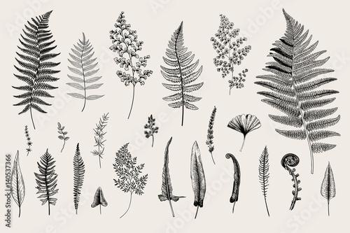 Obraz na plátně Set Ferns. Vintage vector botanical illustration. Black and white