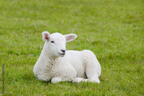 Fotografia lamb lying on pasture
