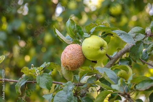 On the branch two apples, healthy and sick monilinia fruit rot (monilia)