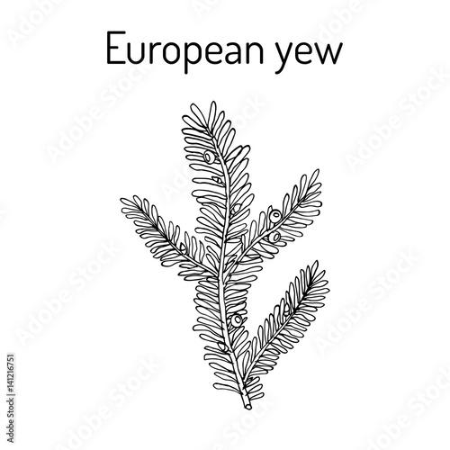 European yew Taxus baccata , poisonous plant. Fototapeta