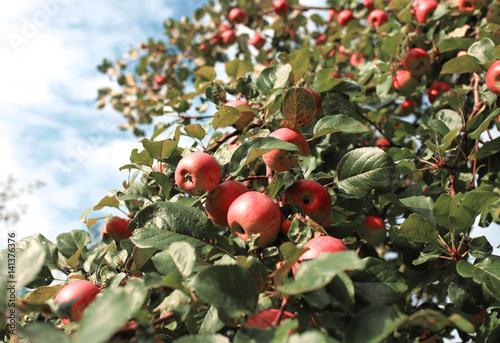Fresh ripe apples on tree in summer garden. Apple harvest