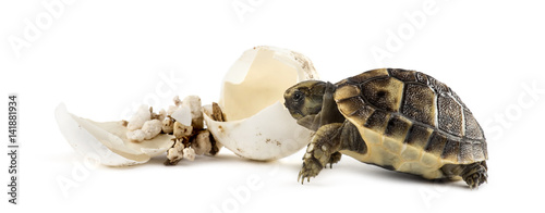 Obraz na plátne Hatchling, next to the egg from which he hatched out