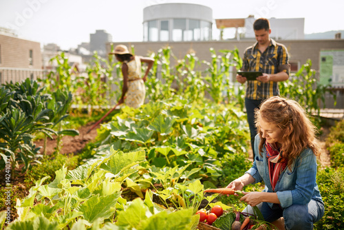 group of urban farmers harvesting vegetables from an organic rooftop community garden