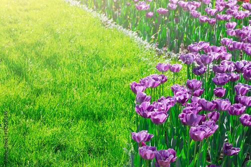 Slika na platnu Tulips blooming flowers field, green grass lawn in beautiful spring garden
