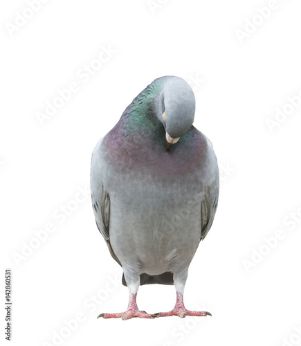 funny acting of beautiful speed racing pigeon bird isolate white background