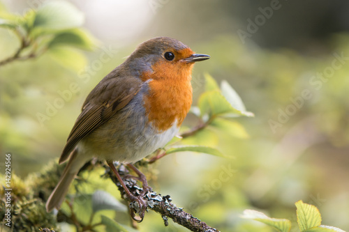 Robin (Erithacus rubecula) singing on branch. Bird in family Turdidae, with beak open in profile, making evening song in parkland in UK