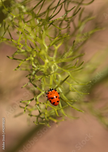 Ladybug Coccinella septempunctata