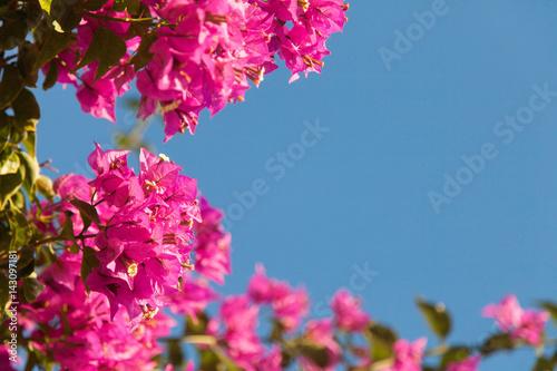 Fotomural Frame of pink bougainvillea flowers on blue sky background.