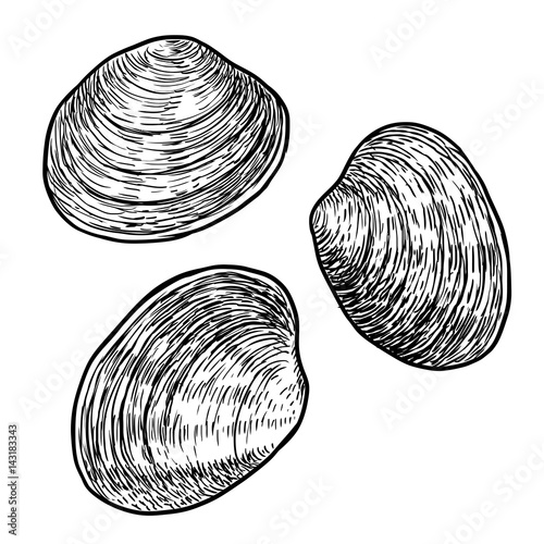 Fényképezés Edible clam illustration, drawing, engraving, ink, line art, vector