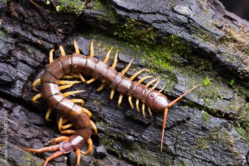 Cuadros en Lienzo centipede (Scolopendra sp