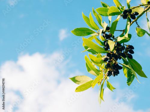 Leaves of laurel and berries on a tree Tapéta, Fotótapéta
