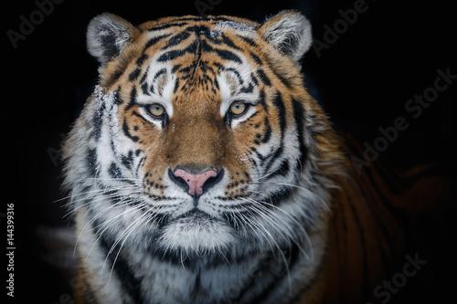 Canvas Print Amur tiger