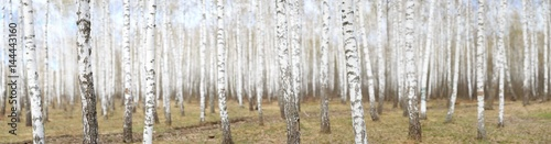 Stampa su Tela White birch grove in the spring. background