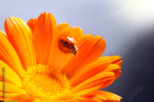 red ladybug on on yellow flower, ladybird creeps on stem of plant in spring in garden in summer