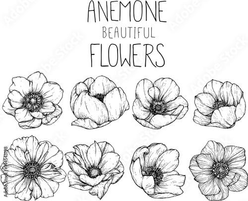 Carta da parati Anemone flowers drawing vector illustration and line art.