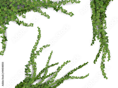 Obraz na plátne Set of realistic vector ivy plant isolated on white background