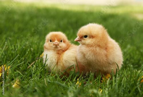 Slika na platnu Two cute yellow chicks in colorful dandelion meadow