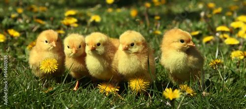 Fotografija Five cute yellow chicks in colorful dandelion meadow