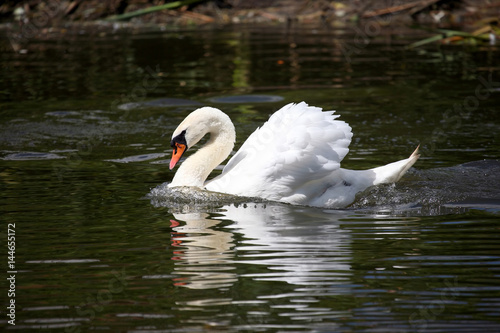 floating in the pond white Swan.