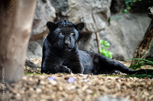 Fototapeta Black panther lying on the ground and looking.