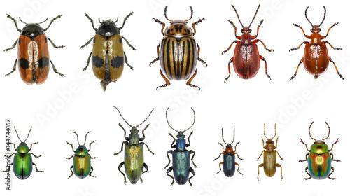 Fotografering Set of Leaf-beetles of Europe  -  Chrysomelidae