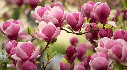 Fotografie, Obraz magnolia