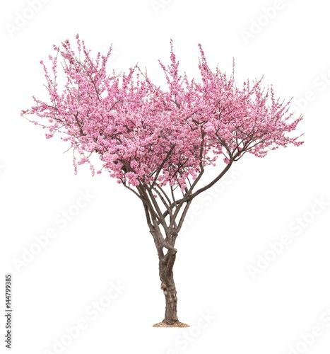 Slika na platnu pink sacura tree