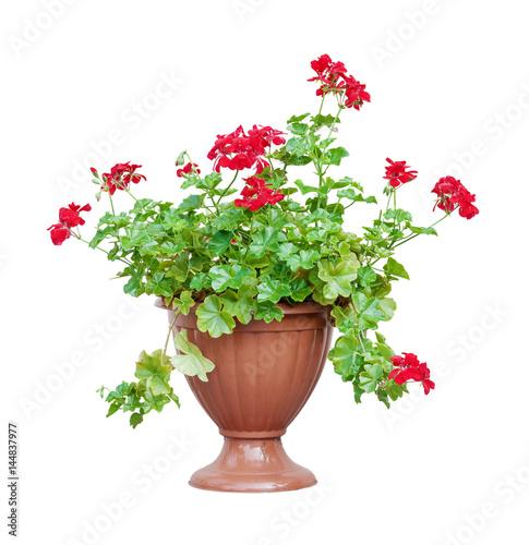 Red geranium on white background