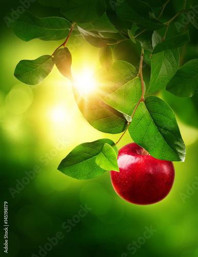 Obraz na plátně Red apple on a tree