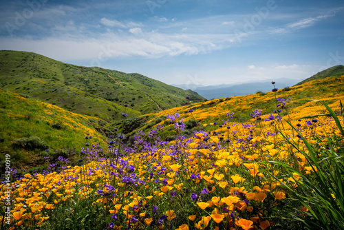 Obraz na plátně California poppies and wildflowers in the hills during the spring super-bloom