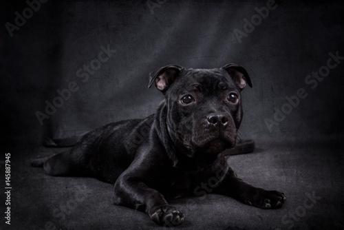 Black puppy Staffordshire bull Terrier on a black background. Fototapeta