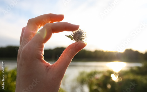Fotografia Person holding a dry burdock prickle with beautiful summer landscape background