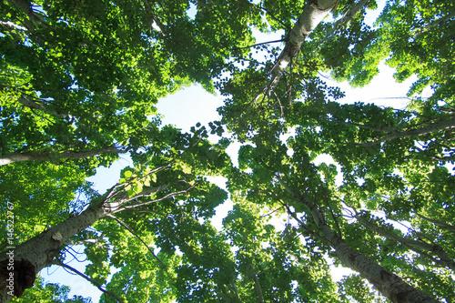 Fototapeta poplar, the shade of a tree image,  a leafy shade