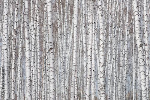 Fotografia birch forest