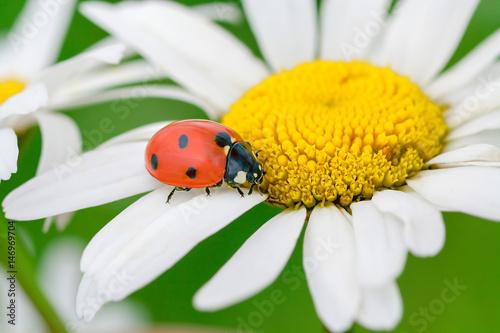 ladybug sits on a camomile flower