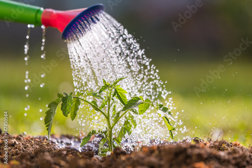 Watering seedling tomato in greenhouse garden
