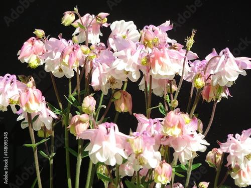 Slika na platnu aquilegia flower in bloom in the garden