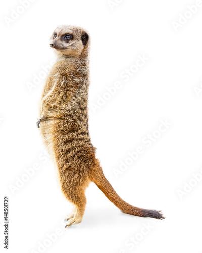 Obraz na płótnie Meerkat Standing Profile Isolated