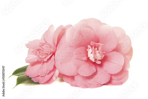 Fotografia Pretty two pink camelia japanese roses isolated on a white background