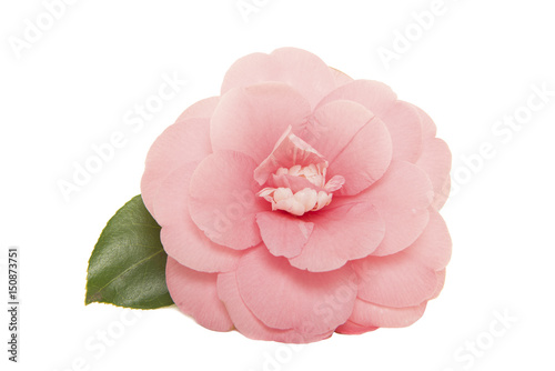 Billede på lærred Single blooming pink camelia japanese rose with leaf isolated on a white backgro