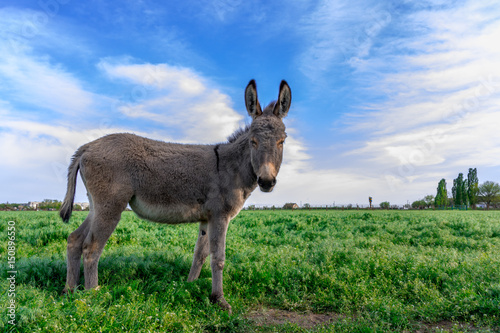 Canvas Print Beautiful donkey in green field with cloudy sky