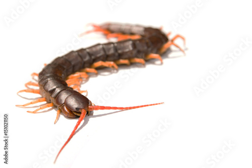 Fotografia Giant centipede Scolopendra subspinipes isolated on white background