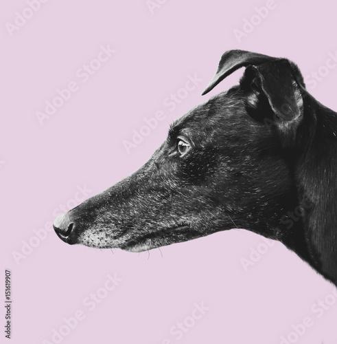 Wallpaper Mural Greyhound Profile Design