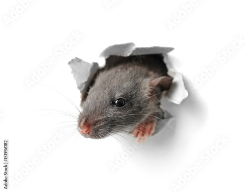 Fotografia Cute funny rat looking out of hole in white paper