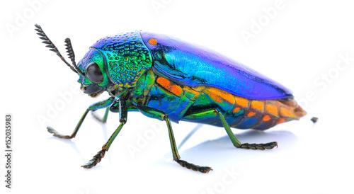 Fotografia, Obraz Jewel beetle isolated on white.