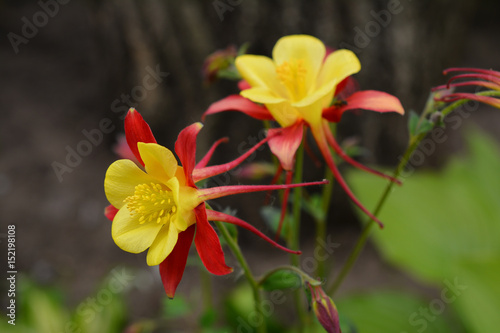 Foto Flowers of yellow and red aquilegia in the spring garden.
