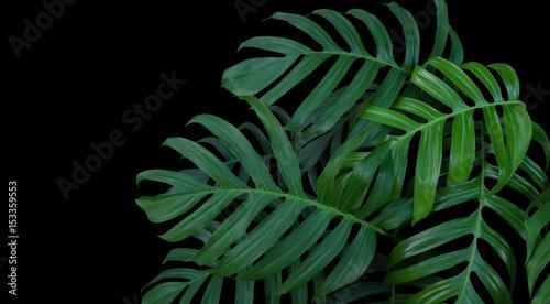 Canvastavla Monstera plant leaves, green tropical forest, evergreen vine on black background