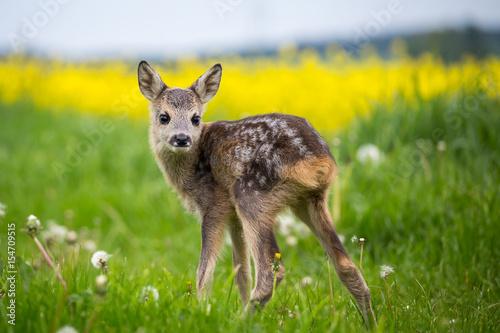 Wallpaper Mural Young wild roe deer in grass, Capreolus capreolus
